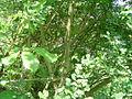 Cytisus arboreus 2.JPG