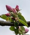Dülmen, Hausdülmen, Blüten der -Dülmener Rose- -- 2015 -- 5678.jpg