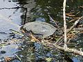 D-BW - Pfrunger-Burgweiler-Ried - Europäische Sumpfschildkröte.JPG