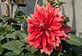 Dahlia 19012015 (4).jpg