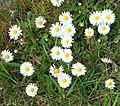 Daisy (2484290932).jpg