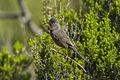 Dartford Warbler - Arenzano - Italy 301 (26586048392).jpg