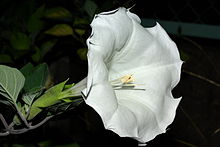 Datura inoxia at night.jpg
