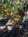 Daviesia latifolia - Bitter Pea, Hop Bitter-pea (21764456673).jpg