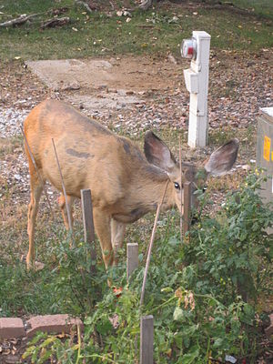 Nuisance wildlife management - Deer eating tomato plant