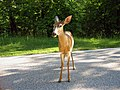 Deer in Shenandoah National Park, Virginia.jpg