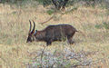 Defassa Waterbuck, male.jpg