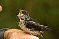 Delichon urbicum -chick -open mouth-8a.jpg
