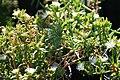 Delosperma herbeau 5zz.jpg