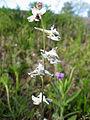 Delphinium carolinianum calciphilum.jpg