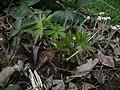 Delphinium exaltatum (16594764144).jpg