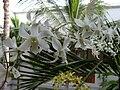 Dendrobium - panoramio.jpg