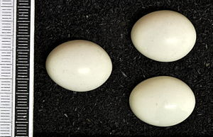 Middle spotted woodpecker - Eggs, Collection Museum Wiesbaden