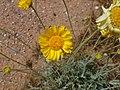 Desert Marigold, Baileya multiradiata - panoramio (1).jpg