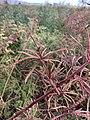 Desmanthus bicornutus cv JCU 6 pods.jpg
