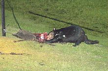 A black devil standing on a patch of cut grass in a paddock, next to a wire fence. It is biting into the torn carcass of an animal.