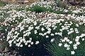 Dianthus arenarius 4.jpg