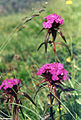 Dianthus barbatus 3 (Pyrenees).jpg