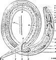 Dichromadora geophila.jpg