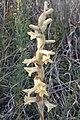 Dichromanthus michuacanus 2.jpg