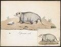 Didelphis opossum - 1700-1880 - Print - Iconographia Zoologica - Special Collections University of Amsterdam - UBA01 IZ20300092.tif