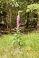 Digitalis purpurea - Purple Foxglove - Roter Fingerhut - Hesse - Germany - 26.jpg