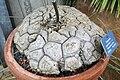 Dioscorea mexicana 002.jpg