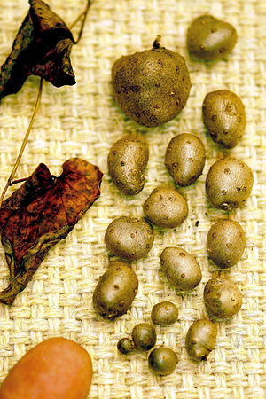 Chinese yam - In addition to larger underground tubers, Chinese yam also produces smaller bulbils (aerial tubers) produced where leaves join the stem. These are also edible but not considered as palatable.