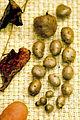 Dioscorea polystachya UGA5421977.jpg