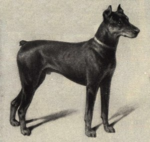 Karl Friedrich Louis Dobermann - A portrait of a Dobermann Pinscher in 1909, after only 19 years from the initiation of the breed's formation process.
