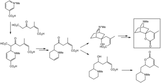 Dioscorine - Biosynthesis of dioscorine (highlighted) and dumetorine from trigonelline in Dioscorea hispida.
