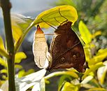 Doleschallia bisaltide philippensis (Autumn Leaf) imago emerging on Graptophyllum pictum (Mindanao, Philippines) 2.jpg