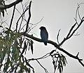 Dollarbird. Eurystomus orientalis (48716815418).jpg