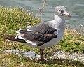 Dolphin Gull - Leucophaeus scoresbii - Immature.jpg