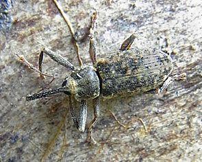 Langarmiger Spießrüssler (Dorytomus longimanus)