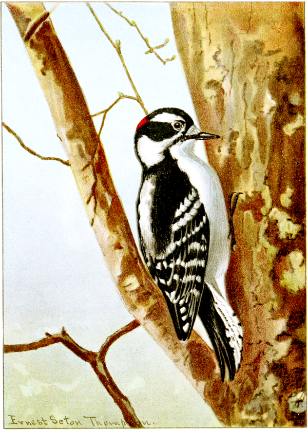 Downy Woodpecker-Bird-Life-0055-115.png