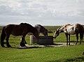 Drei Pferde an einer Tränke.JPG
