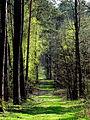 Droga przez Lasy Kozłowieckie.jpg