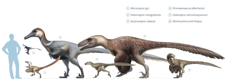 Fichier:Dromaeosaurs.png