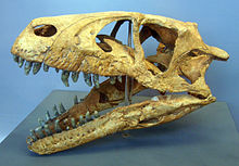 Dinosaur skull in museum with jaw propped open, showing its teeth