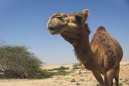 Dromedaries in the desert