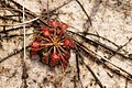 Drosera capillaris,Florida.jpg