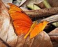 Dryas iuia Julia Heliconian (41318797532).jpg