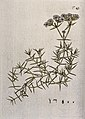 Drypis spinosa L.; flowering stem with separate flower, frui Wellcome V0042871.jpg