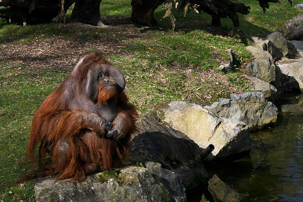The average litter size of a Bornean orangutan is 1