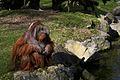 Dublin zoo Orangutang 2011.jpg