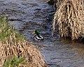 Duck in Broad Run.jpg