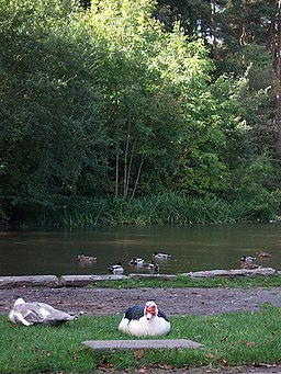 Ducking around on the water - Bryngarw House Pond - geograph.org.uk - 571092