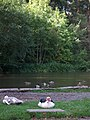 Ducking around on the water - Bryngarw House Pond - geograph.org.uk - 571092.jpg
