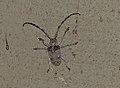 Dumpy Longhorn Beetle (Tetradia lophoptera) (11482274526).jpg